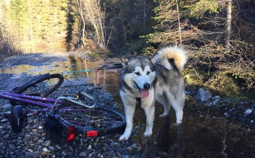 Sykkeltur med hundene